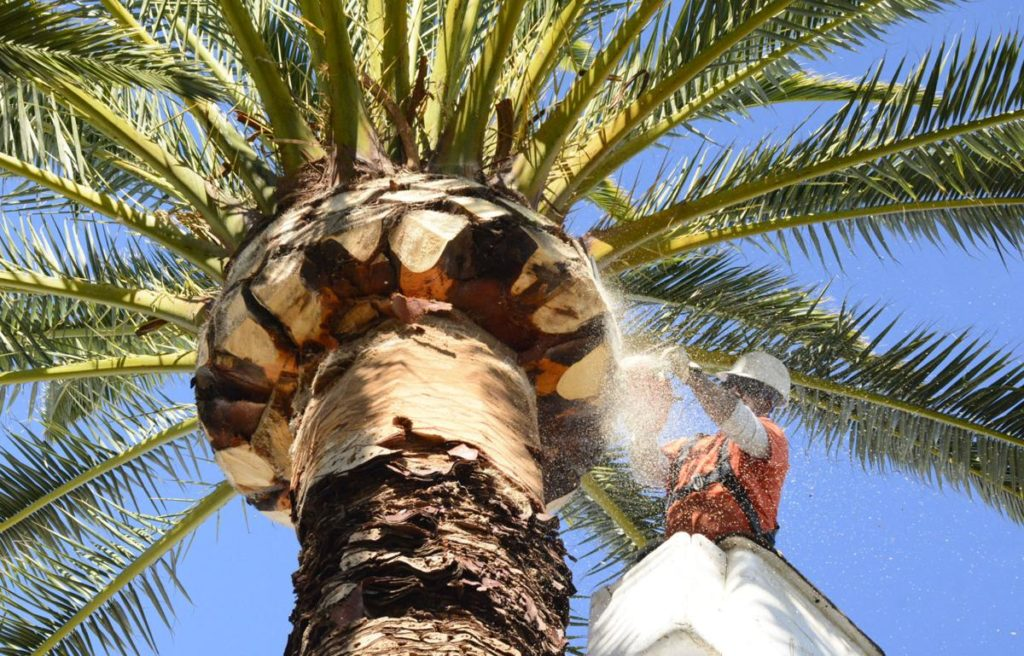 Palm Tree Trimming-Boynton Beach Tree Trimming and Tree Removal Services-We Offer Tree Trimming Services, Tree Removal, Tree Pruning, Tree Cutting, Residential and Commercial Tree Trimming Services, Storm Damage, Emergency Tree Removal, Land Clearing, Tree Companies, Tree Care Service, Stump Grinding, and we're the Best Tree Trimming Company Near You Guaranteed!