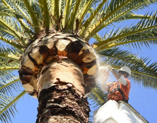 Palm Tree Trimming & Palm Tree Removal-Boynton Beach Tree Trimming and Tree Removal Services-We Offer Tree Trimming Services, Tree Removal, Tree Pruning, Tree Cutting, Residential and Commercial Tree Trimming Services, Storm Damage, Emergency Tree Removal, Land Clearing, Tree Companies, Tree Care Service, Stump Grinding, and we're the Best Tree Trimming Company Near You Guaranteed!